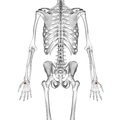 Trapezoid bone 02 dorsal view.png