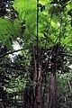 Tree Fern on St Lucia.jpg