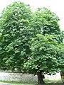 Tree Poland 2007.JPG