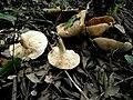 Tricholoma acerbum 512577.jpg
