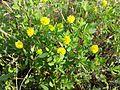Trifolium campestre sl3.jpg