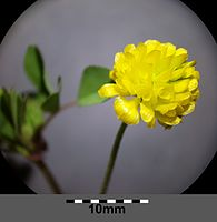 Trifolium campestre sl9.jpg