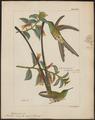 Trochilus amaryllis - 1820-1860 - Print - Iconographia Zoologica - Special Collections University of Amsterdam - UBA01 IZ19100393.tif