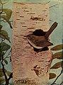 Troglodytes aedon 1905.jpg