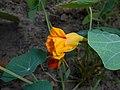 Tropaeolum 2015-07-15 4542.jpg