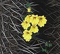 Tropaeolum hookerianum var. hookerianum - Flickr - Dick Culbert.jpg