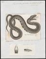 Tropidonotus fasciatus - 1700-1880 - Print - Iconographia Zoologica - Special Collections University of Amsterdam - UBA01 IZ12100033.tif