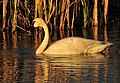 Trumpeter Swan on Seedskadee National Wildlife Refuge (27174061842).jpg