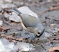 Tufted Titmouse Getting A Drink Of Water (192360391).jpeg