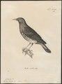 Turdus cardis - 1700-1880 - Print - Iconographia Zoologica - Special Collections University of Amsterdam - UBA01 IZ16300241.tif