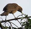 Turdus grayi- the Clay-colored Robin - Flickr - Dick Culbert.jpg