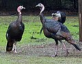 Turkeys 1.jpg