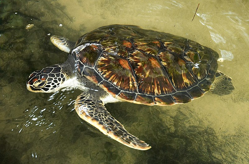 File:Turtle project Bentota C.jpg
