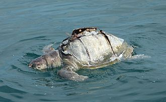 Environmental impact of fishing - A sea turtle killed by a boat propeller