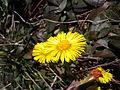 Tussilago farfara flower3.JPG