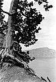 Twisted white bark pine. Llao Rock in distance. On the rim, Garfield Peak Trail, Crater Lake National Park. (cca97e82c08e4c01b81bc8776606d26e).jpg