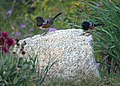 Two Spotted Towhees (8578320689).jpg