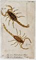 Two scorpions; Androctonus paris and Androctonus troilus. Co Wellcome V0022409EL.jpg