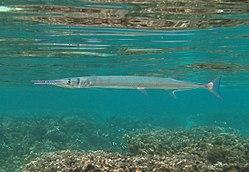 Une aiguille crocodile, à la Réunion