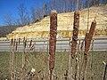 Typha sp. (cattails) (northwestern Jackson County, Ohio, USA) 3 (40110195205).jpg