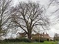 Ulmus glabra. Horncastle Road, Louth, Lincolnshire (1).jpg