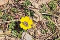 Unidentified Pyralidae on Ranunculus repens (1).jpg