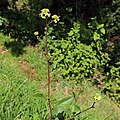 Unknown plant-IMG 6886.JPG
