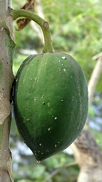 Unripe papaya fruit.JPG