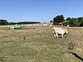 Vaches Pré Route Sauzey Bey Ain 2.jpg