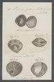 Venus granulata - - Print - Iconographia Zoologica - Special Collections University of Amsterdam - UBAINV0274 077 12 0015.tif