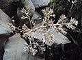 Vernonia arborea 04.JPG