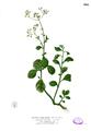 Vernonia cinerea Blanco2.280.png