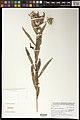 Vernonia purpurea-NMNH-13140595.jpg
