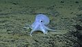 Very Deep, Ghostlike Incirrate Octopod - NOAA Office of Ocean Exploration and Research, Hohonu Moana 2016.jpg