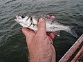 Very little seabass in hand.jpg