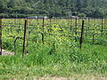 Vines in Calistoga.jpg