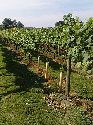 Vinyard in uk