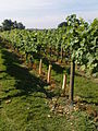 Vinyard in uk.JPG