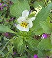 Viola arvensis, akkerviooltje.jpg