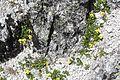 Viola crassa subsp. alpicola s5.jpg