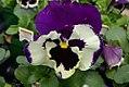 Viola tricolor Dynamite Blue & White Shades 0zz.jpg