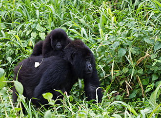 Dian Fossey - Gorilla mother with cub in Virunga National Park in the Congo