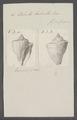 Voluta labrella - - Print - Iconographia Zoologica - Special Collections University of Amsterdam - UBAINV0274 087 04 0048.tif