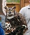 WR - Great Horned Owl 9 (5761921718).jpg