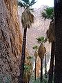 Washingtonia palms, Kofa National Wildlife Refuge, AZ (6449997075).jpg