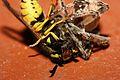 Wasp vs Spider Fight (2786676774).jpg