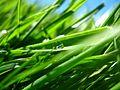 Water droplet in grass - Gota de auga na herba - 04.jpg