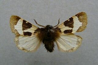 <i>Watsonarctia deserta</i> species of insect