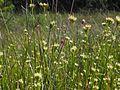 Weißes Schnabelried (Rhynchospora alba) Becklinger Moor@20150801 12.JPG