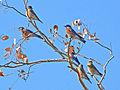 Western Bluebirds.jpg